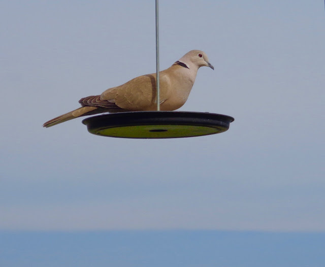 Collared Dove, Colleen M. Dougher, The Invisible Fly,
