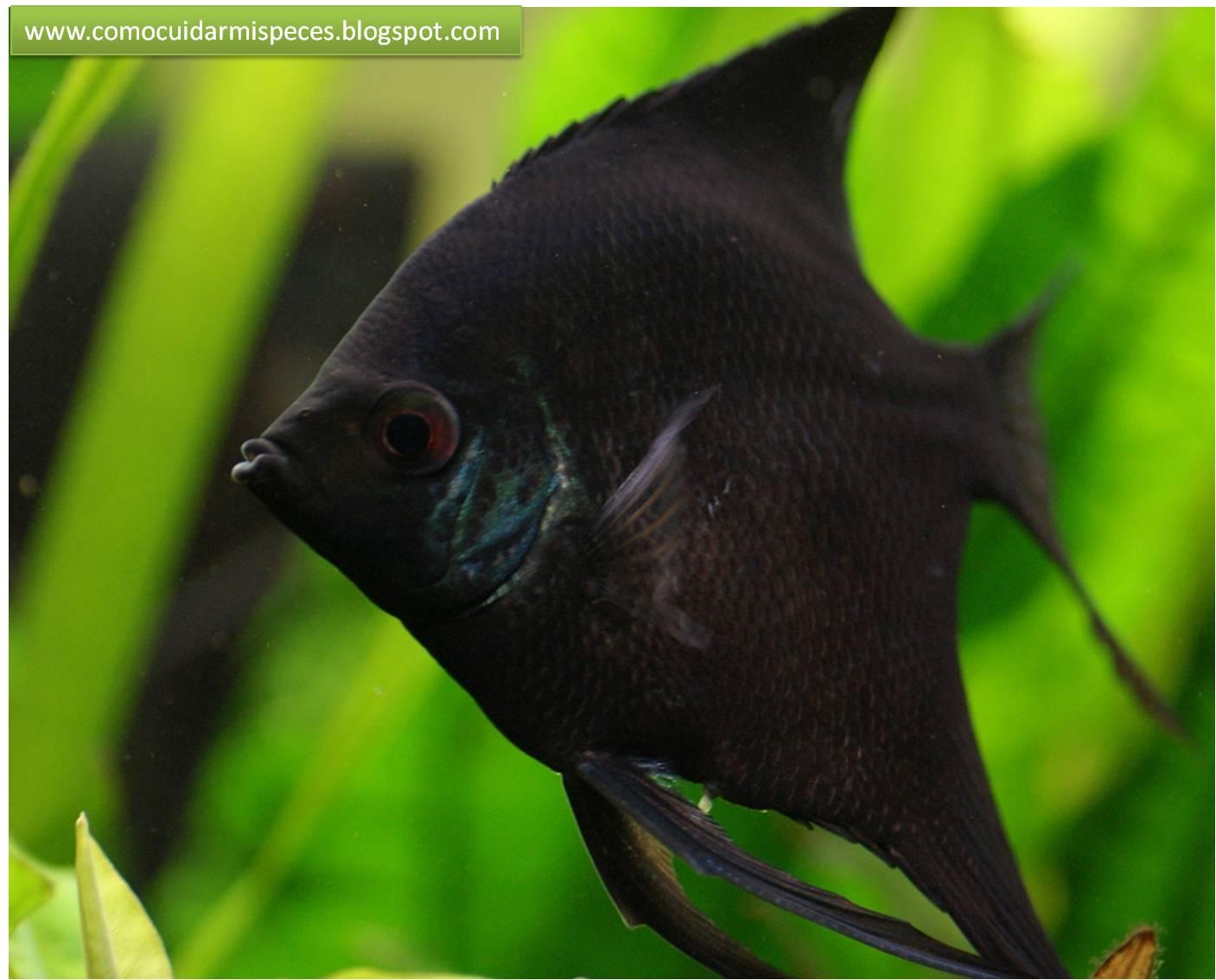 Diferencias sexuales Escalares negros - Pterophyllum scalare en imágenes
