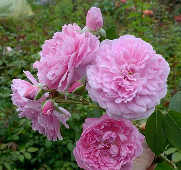 Harlow Carr сорт розы Остин фото купить саженцы Минск