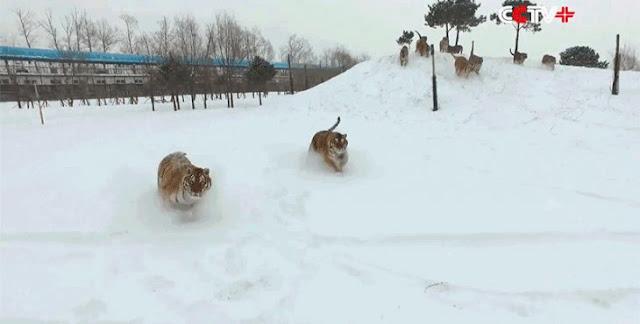 """China usa parques para """"cultivar"""" tigres para hacer vino"""