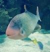 pez napoleon oceanografico valencia