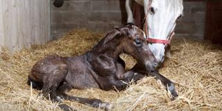 equinos-obstetricia-parto-distocia-pdf-livro