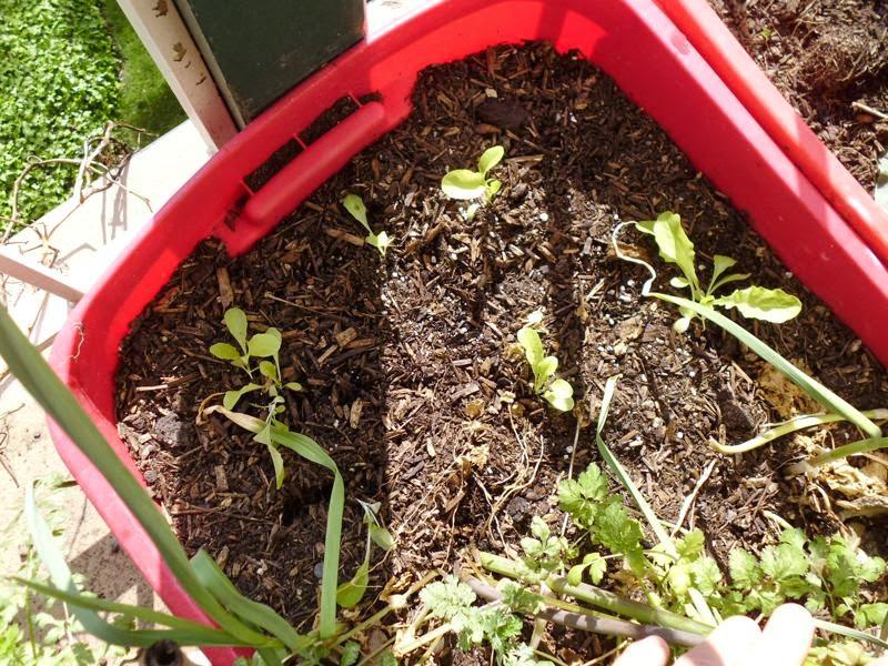 New Lettuce seedlings