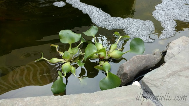 Water hyacinths in a pond. These are pretty and easy to grow.