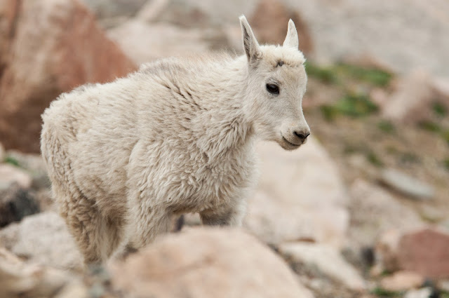 Mount Evans Mountain Goat