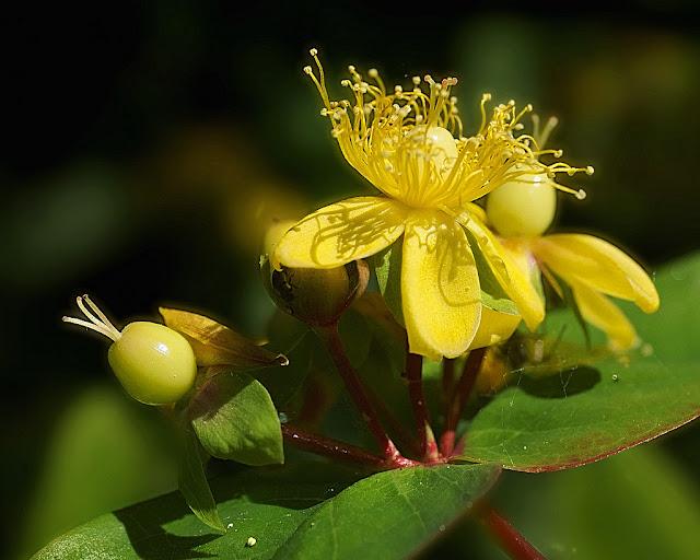 Close up of a single flower of St John's Wort