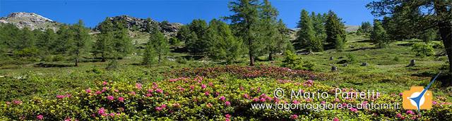 Splendide fioriture salendo all'alpe Porcaresc