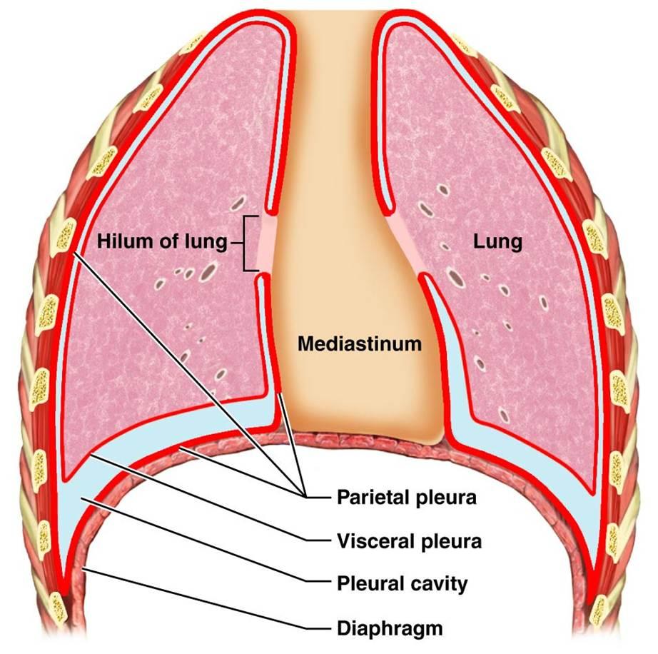 CLASS BLOG: BIO 202 Respiratory System KEY