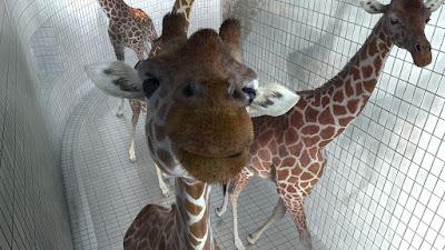 5 mètres 80 des girafes dans une piscine court métrage de Nicolas Deveaux