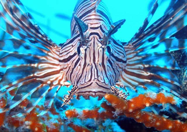 سمكة اسد البحر عندما يجتمع الجمال والخطر Lifish-4.jpg