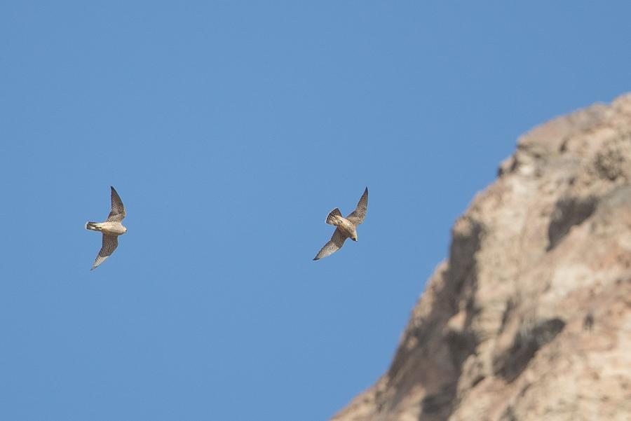 Barbary Falcon – Western KSA