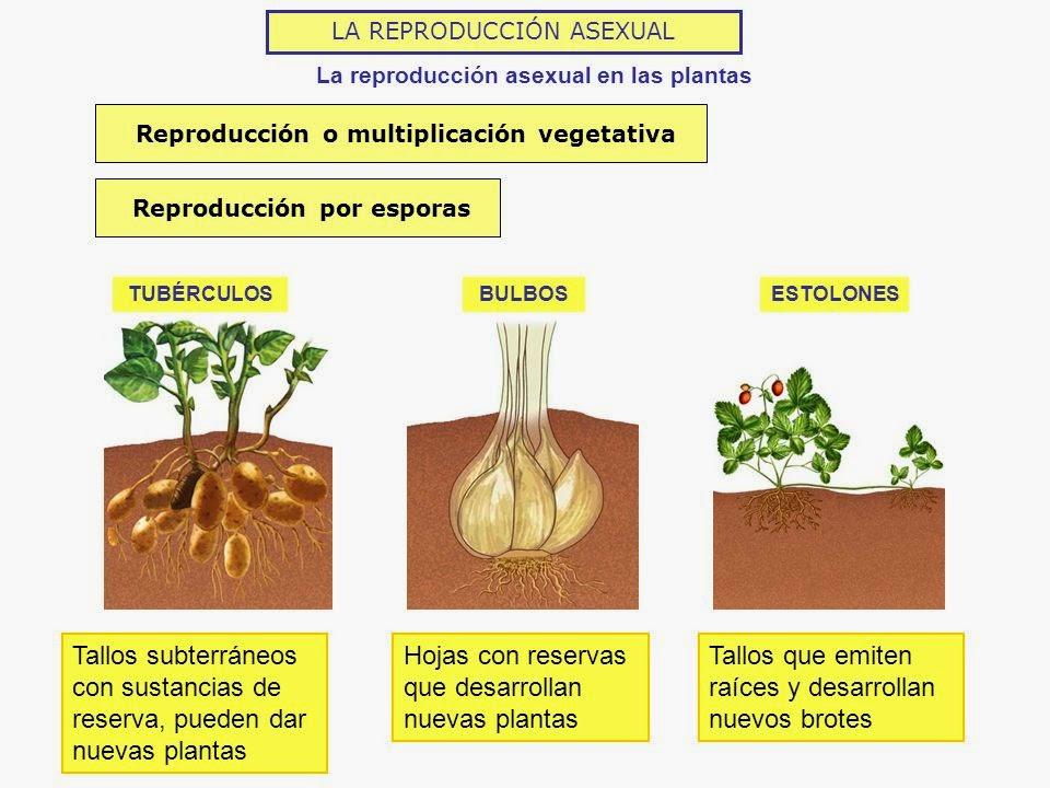 Los musgos y helechos también forman esporas en unas estructuras