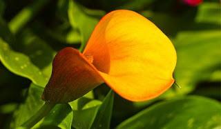 Gambar Bunga Anthurium yang Cantik 5