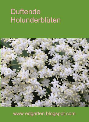 Weisse Holunderblüten