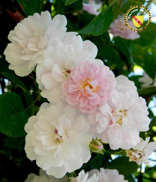 VILLERS-LES-NANCY (54) - La roseraie du Jardin botanique du Montet - Rosa moschata - Roses Paul's Himalayan musk