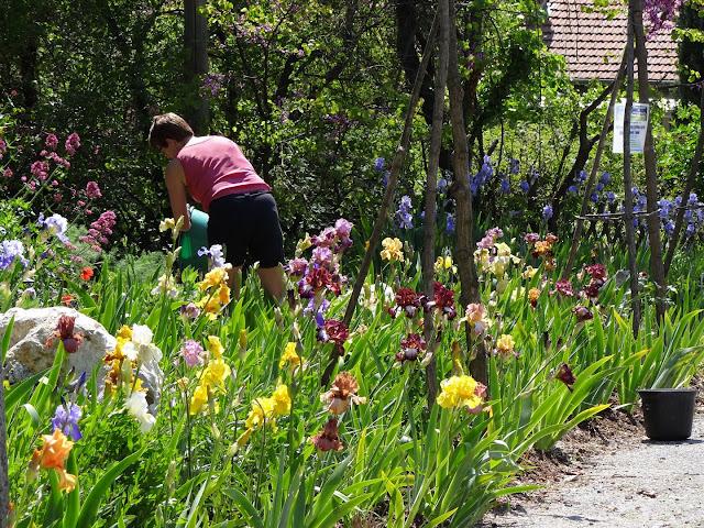 Floraisons 2016 de nos grands iris barbus et Bilan - Page 2 DSC07439