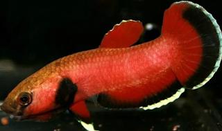 Betta channoides - Jenis Ikan Cupang
