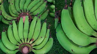 fruit around the world, strange fruit, strange fruit around the world, crazy fruit, crazy fruit around the world, GREEN BANANA