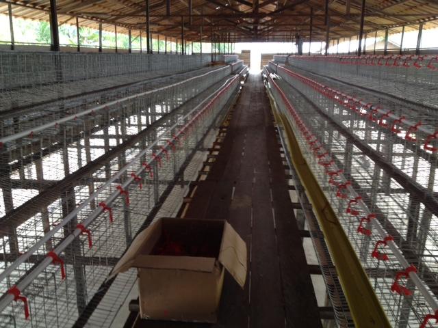 Desain Dan Gambar Kandang Ayam Petelur - Kandang Ayam Petelur