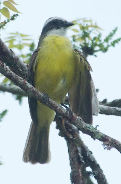 Social Flycatcher (Myiozetetes similis)