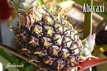 Abacaxizeiro