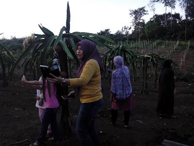 Agrowisata kebun buah naga Lubuk linggau