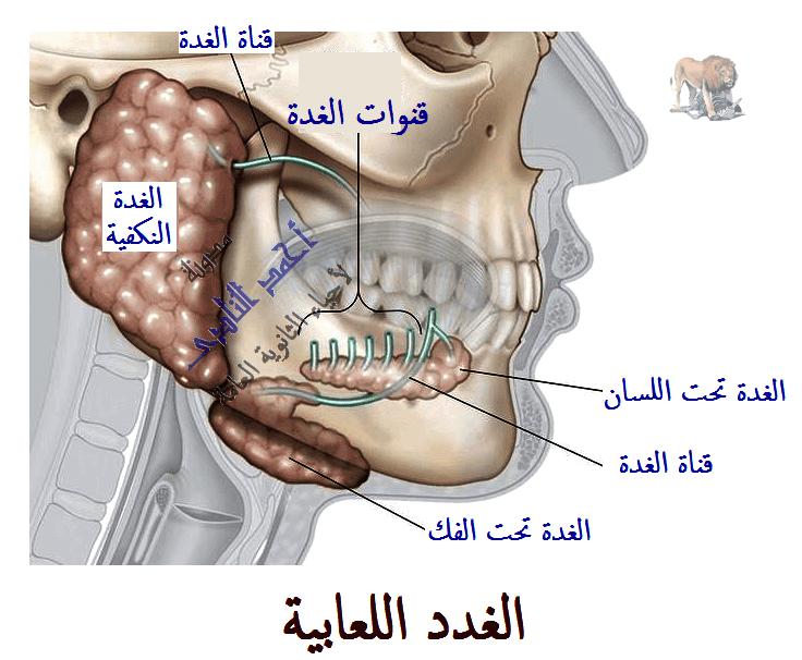 الهضم فى الإنسان -  الجهاز الهضمى - الفم - الغدد اللعابية -  مدونة أحمد النادى لأحياء الثانوية العامة