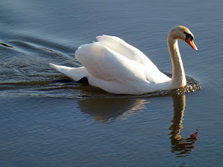 A mute swan glides upstream on a spring evening on the River Cleddau at Fortune's Frolic