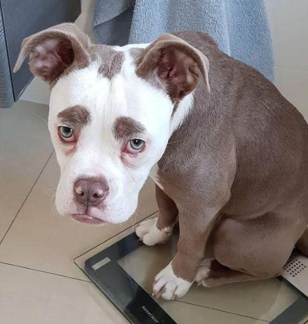 Le FOTO del cagnolino bulldog più adorabile dei Social