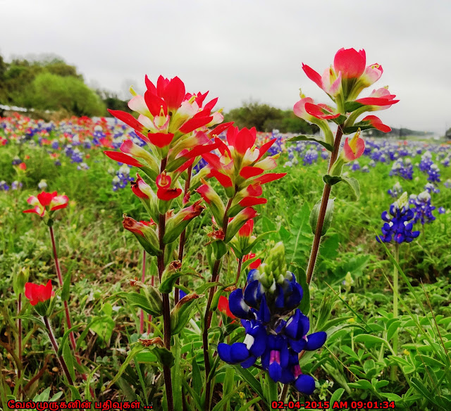 Texas Lupinus texensis