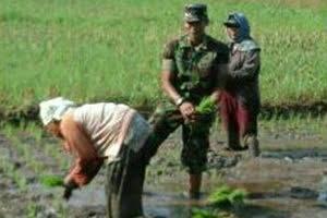 Anggota Babinsa Koramil 05/Salapian Ikut Menanam Padi di Kel. Tanjung Langkat