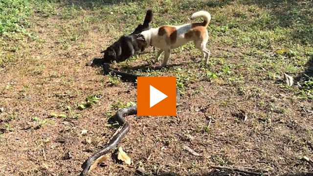 La defensa de unos perros contra una gran serpiente venenosa