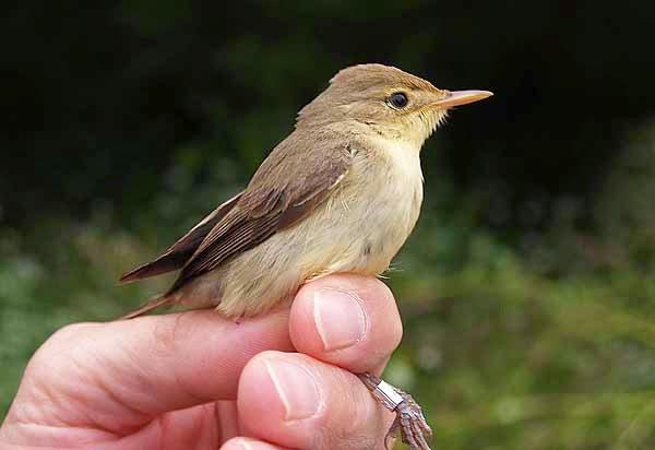 http://www.herrerillo.com/2017/02/anillamiento-cientifico-de-aves.html