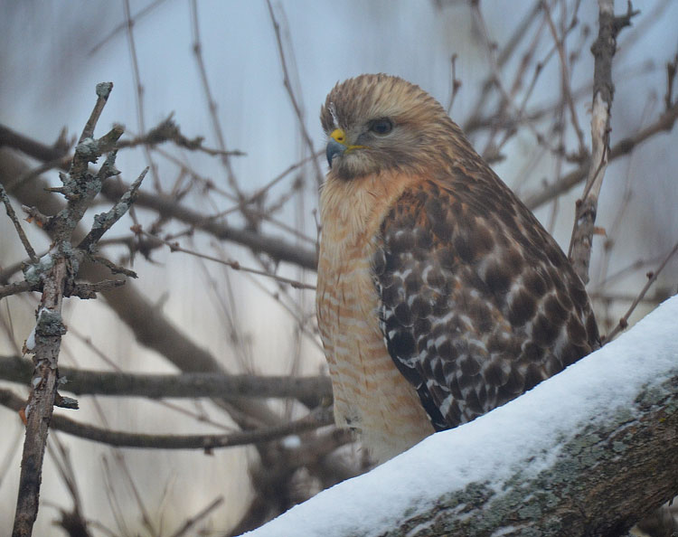 A beautiful Red-shouldered Hawk sits in a snow-covered tree.