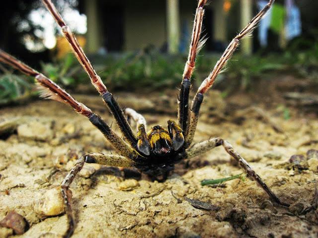 A aranha mais venenosa do mundo