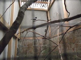 3 Tips Pembuatan Kandang Ternak Burung Kacer Yang Sederhana