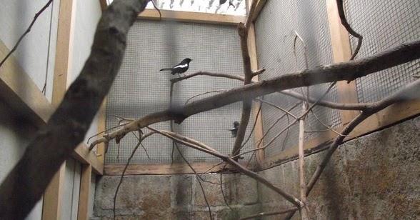 3 Tips Pembuatan Kandang Ternak Burung Kacer Yang Sederhana Kicau Mania