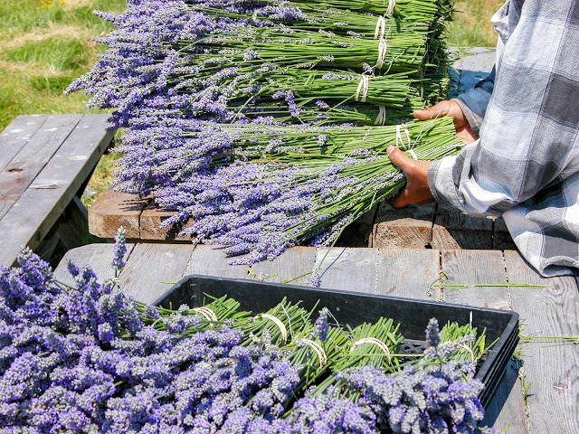 Bundling Organic Lavender for Drying at Pelindaba Lavender Farm