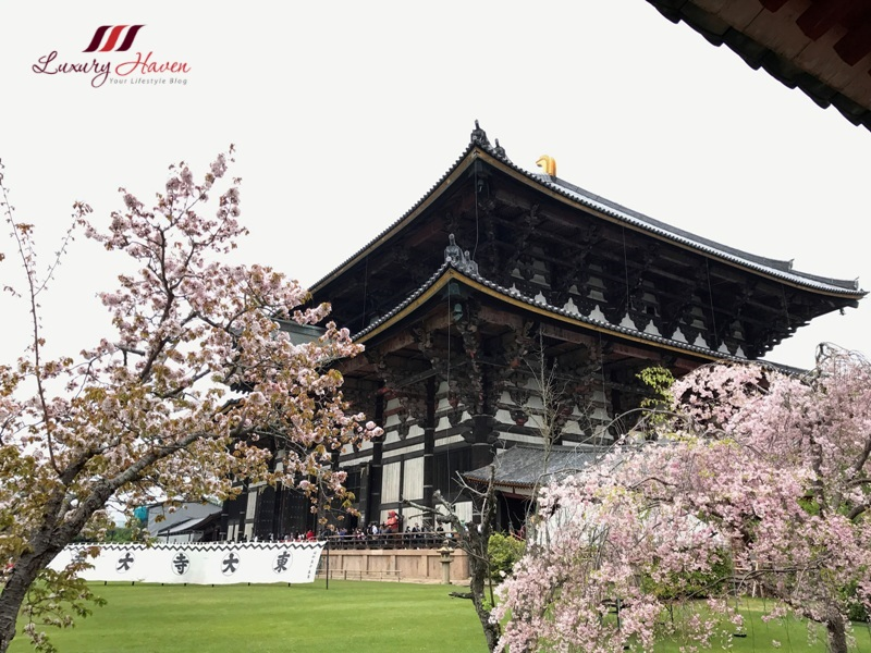 todaiji temple in spring cherry blossom