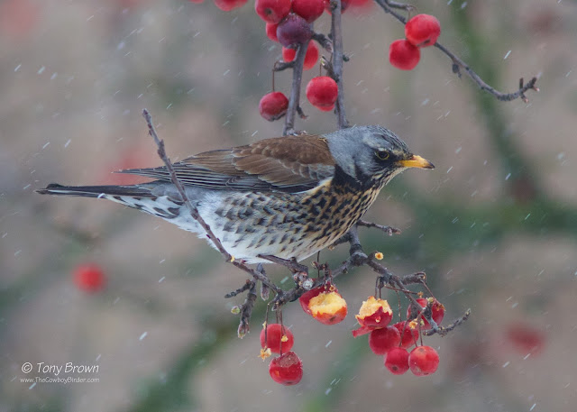 Winter, Thrush, Berries