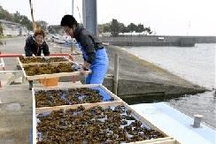 天然ワカメ収穫 湯島