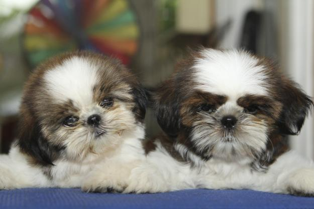 Cute Puppy Dogs Cute Shih Tzu Puppies
