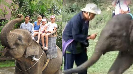 Tersebar Video Aksi Brutal Pawang Gajah Agar Gajah Menjadi Jinak