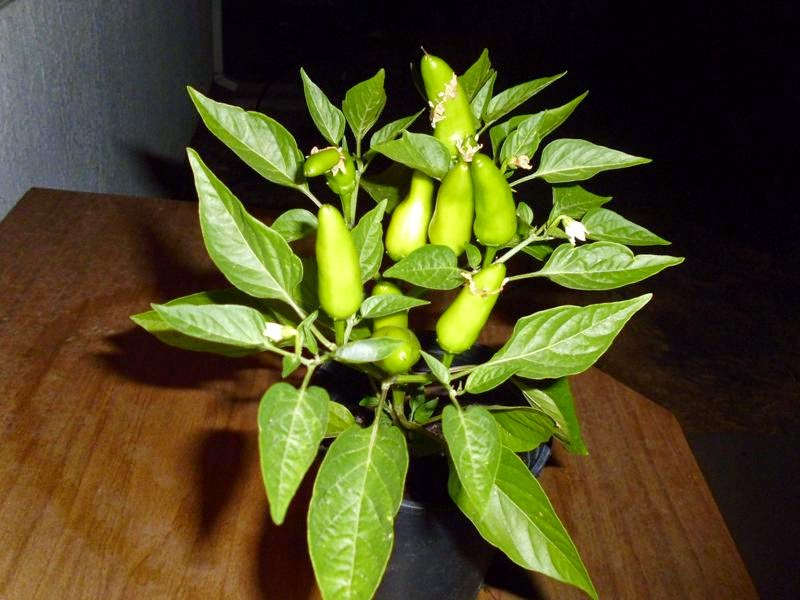 Pepper plant with full fruit
