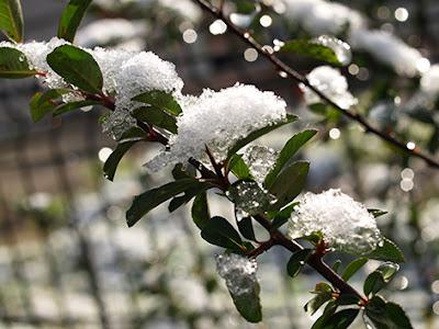 Espino de fuego cubierto por nieve helada