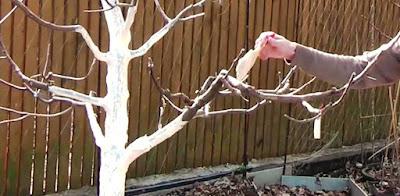когда белить деревья (числа) весной и осенью