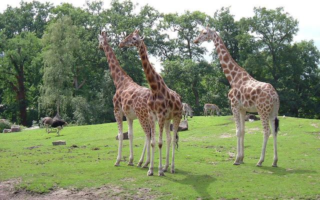 Groep giraffes in dierentuin Emmen.