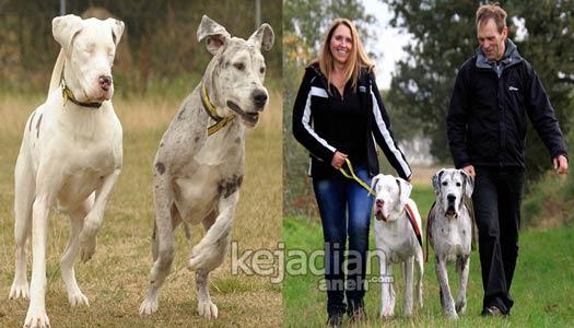 anjing great dane 13 Kisah Kesetiaan Anjing yang Dijamin Bikin Nangis