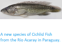 http://sciencythoughts.blogspot.co.uk/2013/08/a-new-species-of-cichlid-fish-from-rio.html