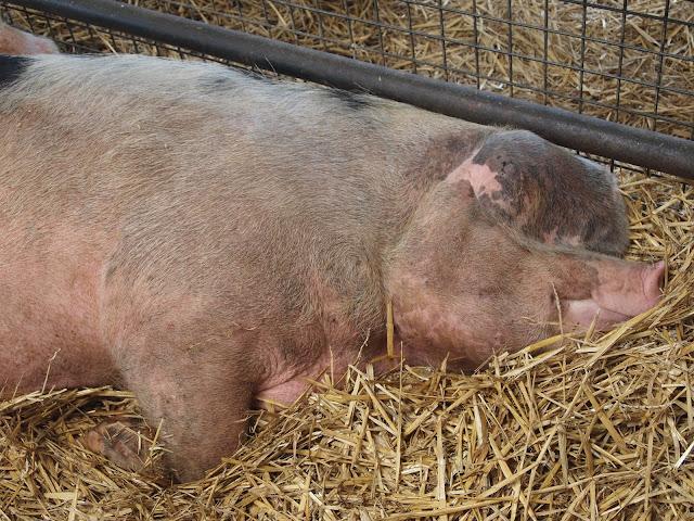 Godstone Farm, Surrey Review - sleeping pig